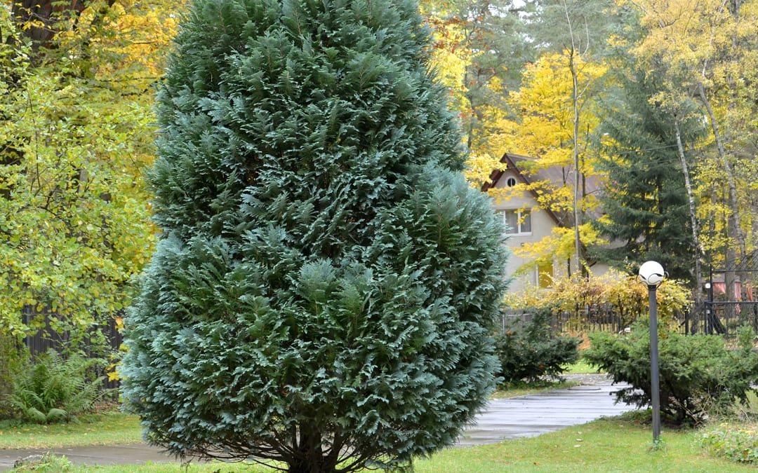 Evergreens for Your NW Arkansas Home